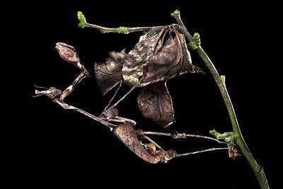Mantis Photograph - Female Violin Mantis by Alex Hyde