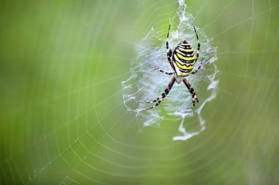 Spiderweb Photograph - Female Wasp Spider by Alex Hyde