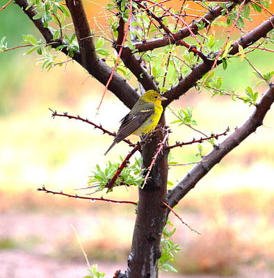 Photograph - Female Western Tanager by Floyd Tillery