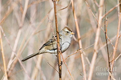 Female White-crowned Sparrow Art Print