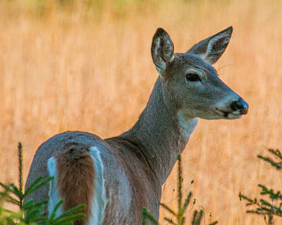 Photograph - Female White Tailed Deer by Brenda Jacobs