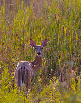 Photograph - Female White-tailed Deer by Melinda Fawver