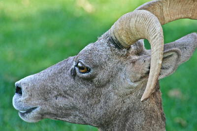 Photograph - Female Wild Big Horn Sheep by Ruth Edward Anderson