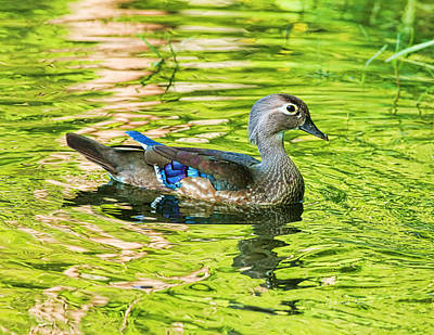 Female Wood Duck Art Print by Deborah Benoit