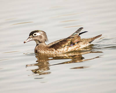 Photograph - Female Wood Duck by Lee Kirchhevel
