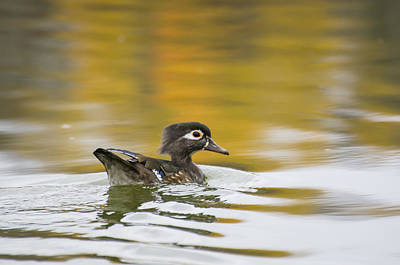 Female Wood Duck Print by Tom Spencer