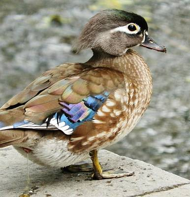 Photograph - Female Wood Duck by VLee Watson