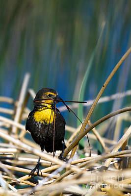 Blackbird Builds A Nest Art Print