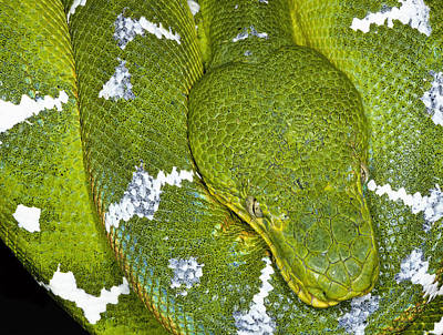 Robert Jensen Photograph - Femeral Tree Boa by Robert Jensen