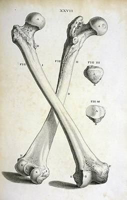 Femur Bones Print by British Library