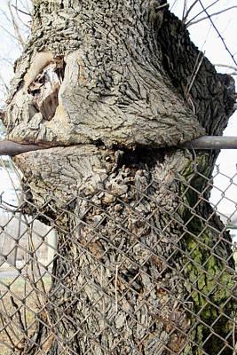 Photograph - Fence Eating Tree by Bob Slitzan