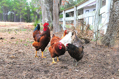 Photograph - Fence Line Chickens by Scott Hansen