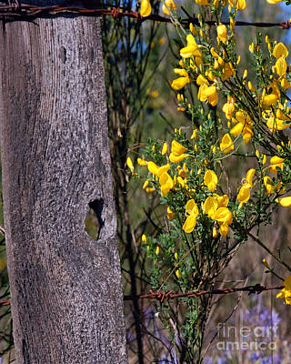 Photograph - Fence Post And Scotch Broom I by Chuck Flewelling