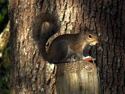 Art Print featuring the photograph Fence Post Squirrel  by Chris Mercer