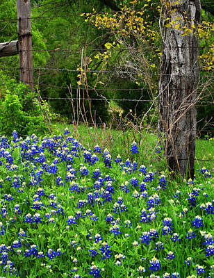 Fenced In Bluebonnets Art Print by David and Carol Kelly