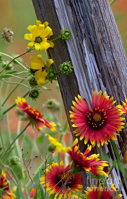 Florals Photos - Fenceline Wildflowers by Robert Frederick