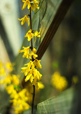 Photograph - Fenceside Forsythia by Rebecca Sherman