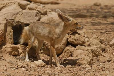 Sinai Photograph - Fennec Fox by Photostock-israel