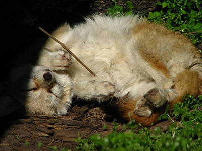 Photograph - Fennec Fox Sleeping by Cleaster Cotton