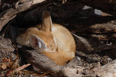 Photograph - Fennec Fox Sleeping by John Mitchell