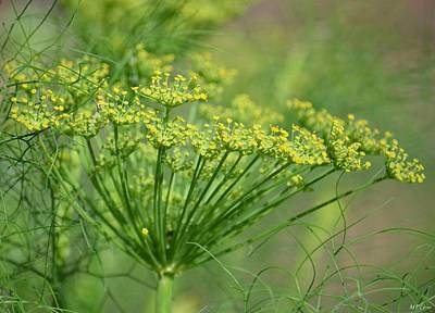 Photograph - Fennel Magic by Maria Urso