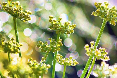 Fennel Morning Dew Art Print