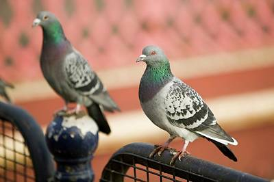 Feral Photograph - Feral Pigeons In Leicester by Ashley Cooper