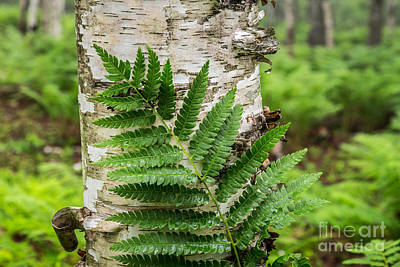 Photograph - Fern And Birch In Acadia 1 by Susan Cole Kelly