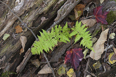 Photograph - Fern And Maple Leaves Maine Img 6182 by Greg Kluempers