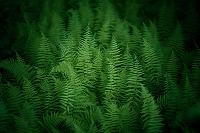 Virginia Photograph - Fern Bed by Shane Holsclaw