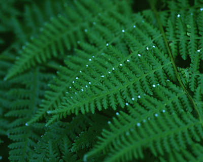 Photograph - Fern by Christopher Meade