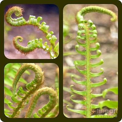 Photograph - Fern Curls  by Susan Garren