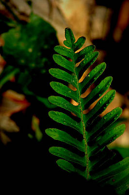 Photograph - Fern by David Weeks