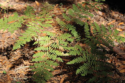 Photograph - Fern by Deana Glenz
