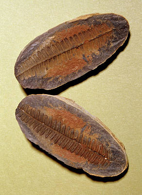 Fern Fossil (pecopteris Sp.) Art Print by M P Land/science Photo Library