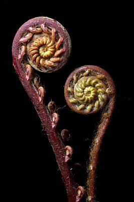 Nature Unfurls Photograph - Fern Fronds by Alex Hyde