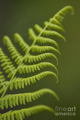 Photograph - Fern by Jim Corwin