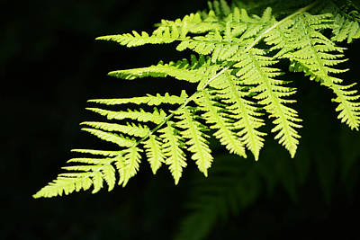 Photograph - Fern by Kim Hymes