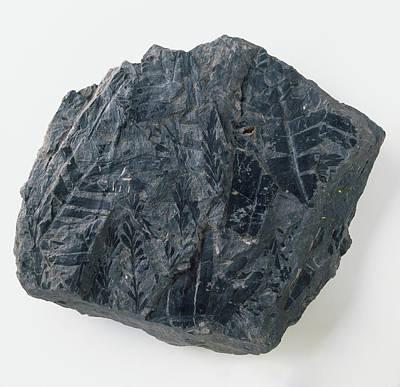 Mesozoic Era Photograph - Fern Leaf Fossil From Coal Seam by Dorling Kindersley/uig