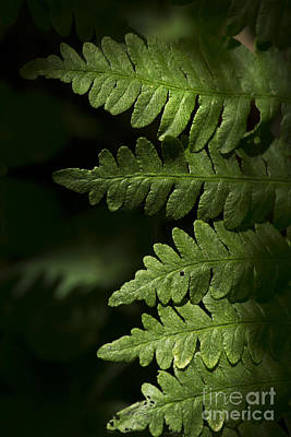 Photograph - Fern by Morgan Wright