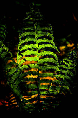 Photograph - Fern On Forest Floor by Patrick Boening