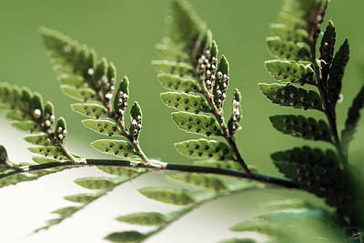 Photograph - Fern Seeds by Lisa Knechtel