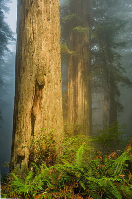 Photograph - Fern Trio And Redwoods by Greg Nyquist