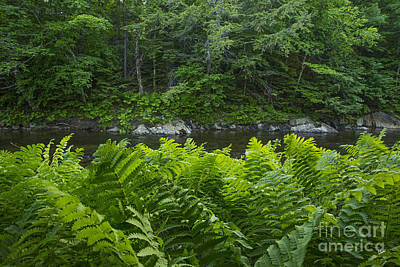 Photograph - Ferns Along The Stream by Alana Ranney
