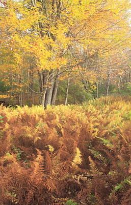 Photograph - Ferns And Maple Fall Foliage by John Burk