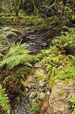 Photograph - Ferns And Redwood Sorrel Muir Woods by Marianne Campolongo