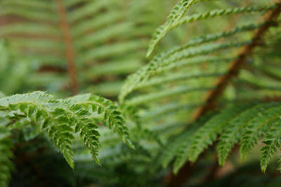 Ferns Art Prints Green Fores Fern Art Print