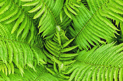 Photograph - Ferns Below by Gary Slawsky