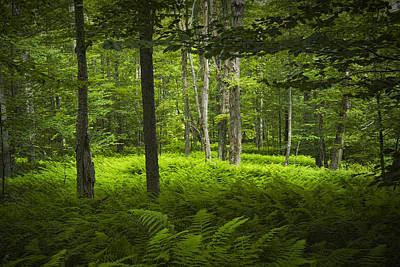 Photograph - Ferns In A Vermont Woodland Forest by Randall Nyhof