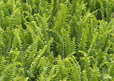 Photograph - Ferns by Wanda Krack